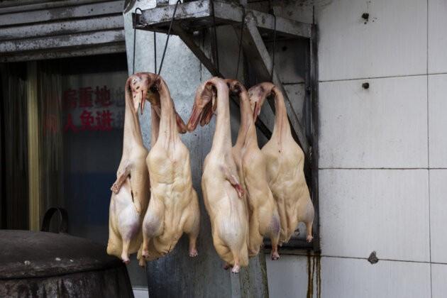Kachny na hacich Cina