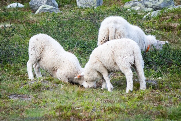 tri bojujici bile Ovce