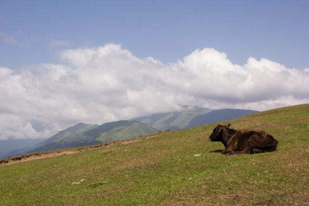 krava vyhled hory