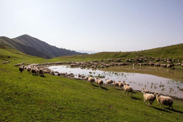 ovce v horach u vody