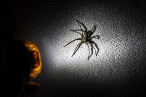 Pavouk Thajsko