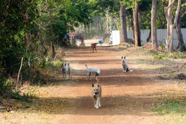 Thajsko psi