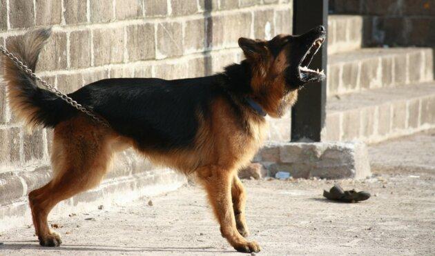Vzteklý pes na retezu