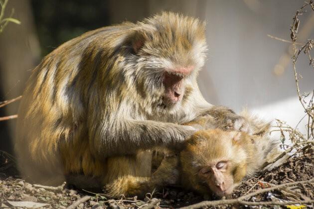 Rozkošné opičky si vybírají brebery, Indie