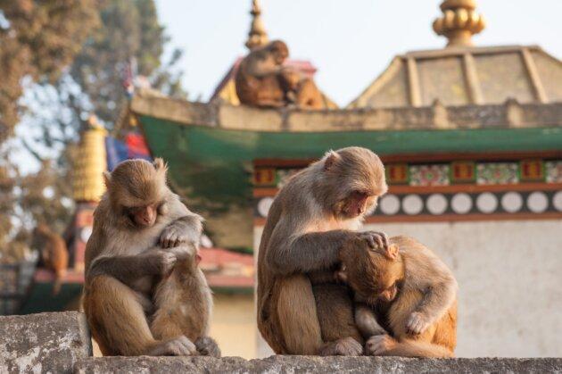 Nepal Opice